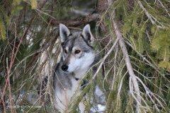 Todtmoos2007_Greylikewolves2.jpg